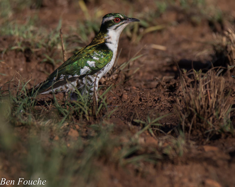 Diderick Cuckoo (5)