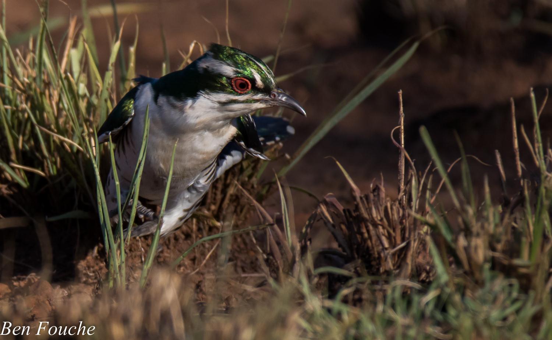 Diderick Cuckoo (6)