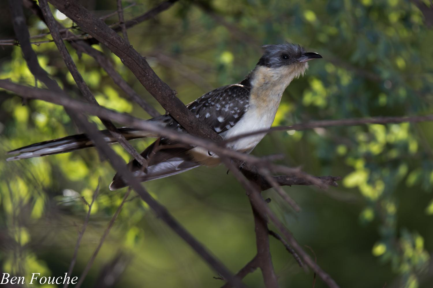 Great Spotted Cuckoo (1)