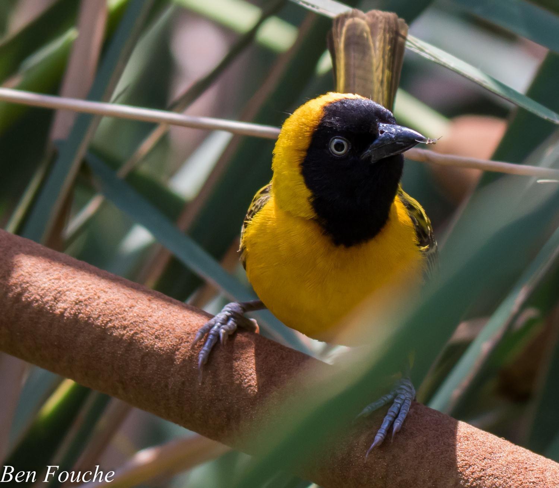 Lesser Masked Weaver (3)