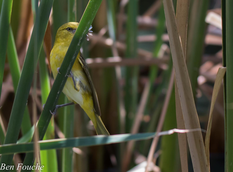Lesser Masked Weaver Female