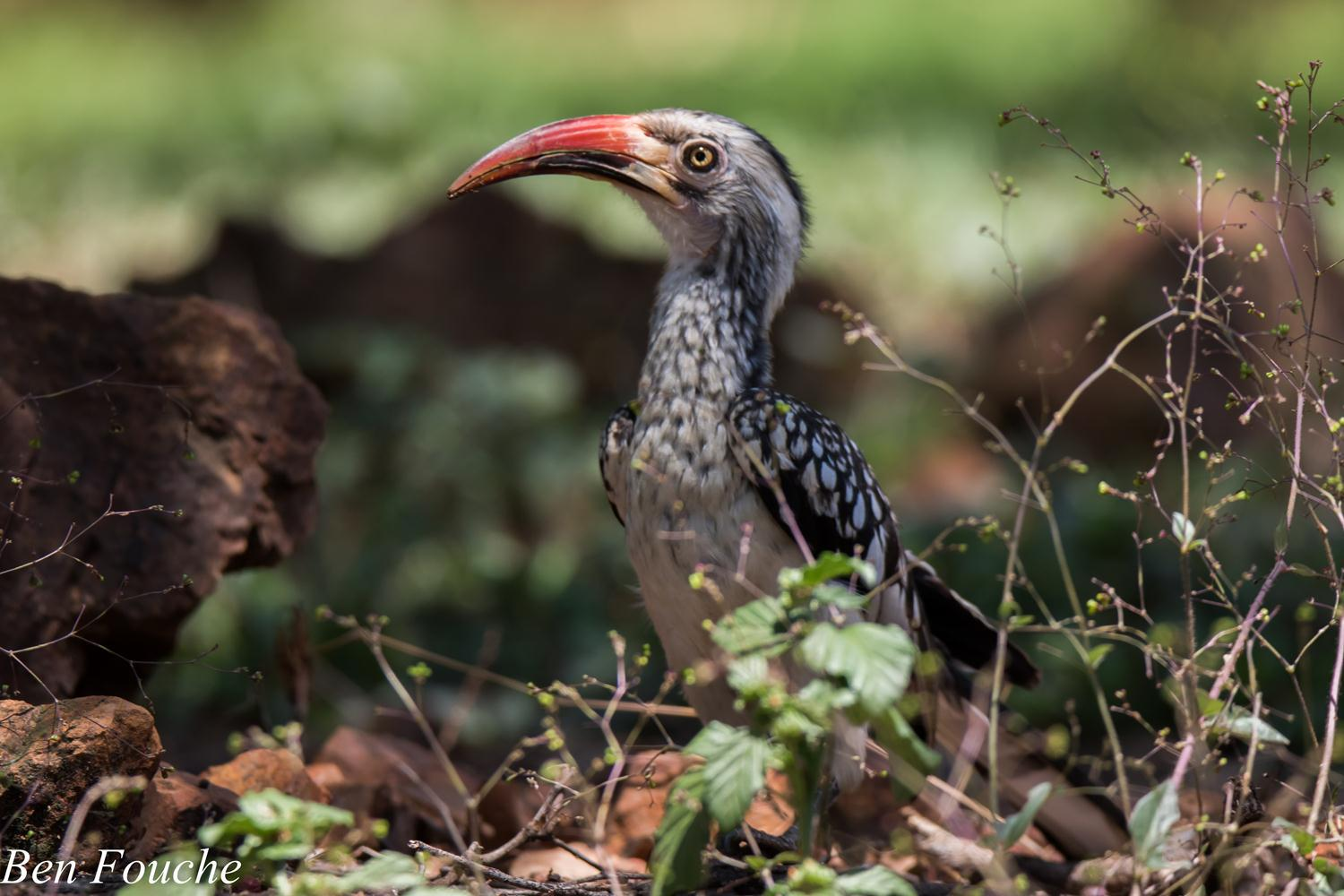 Southern Red-billed Hornbill (1)