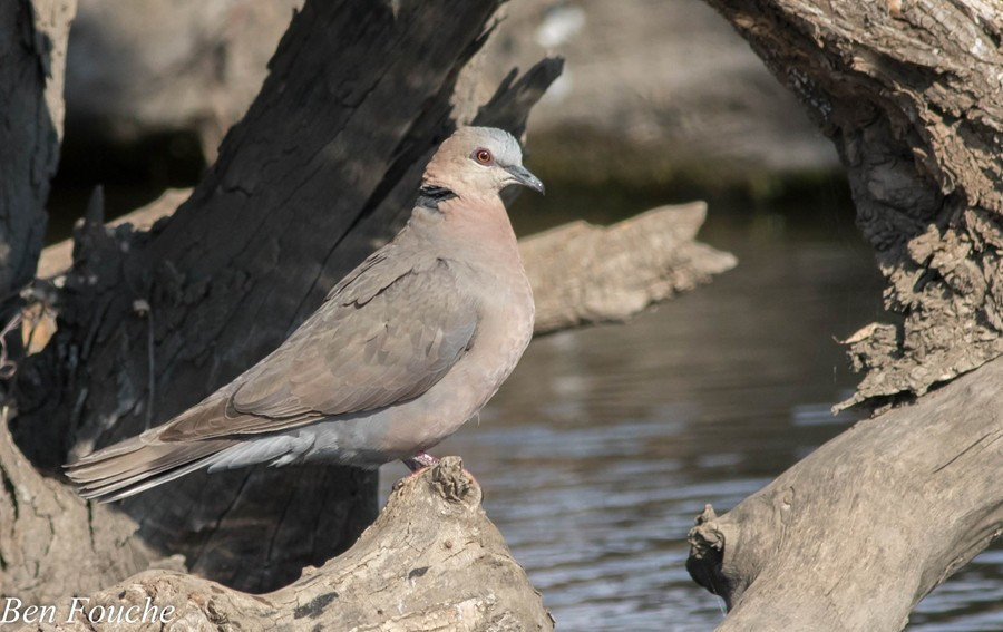Red-eyed Dove, Grootringduif, (Streptopelia semitorquata)