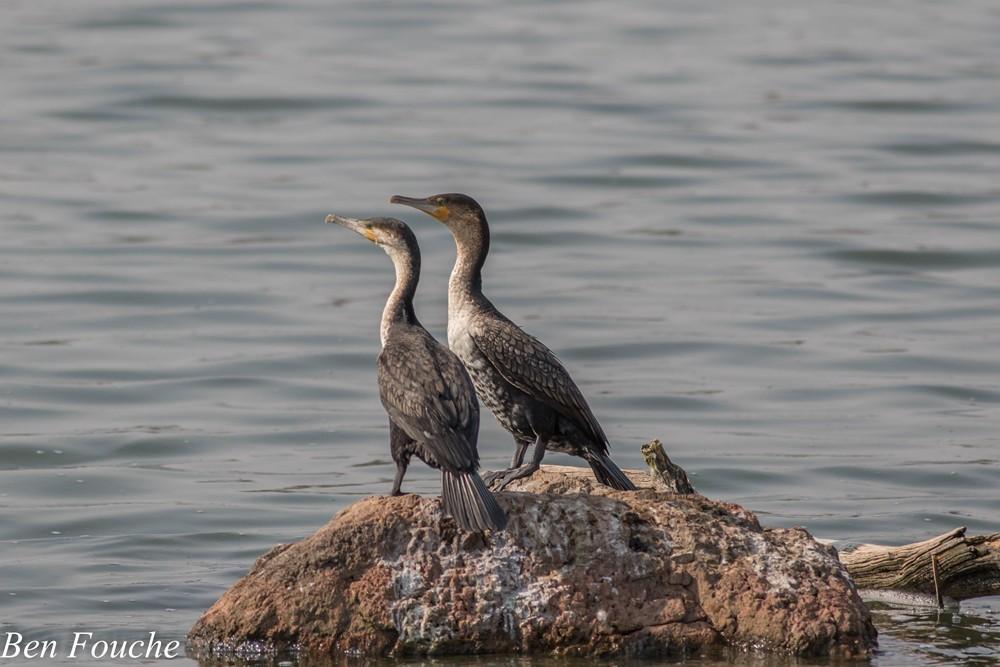 White-breasted Cormorants, Witborsduikers, (Phalacrocorax lucidus)