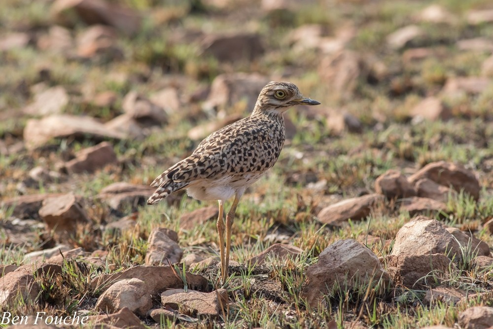 Spotted Thick-knee, Gewone Dikkop, (Burhinus capensis)