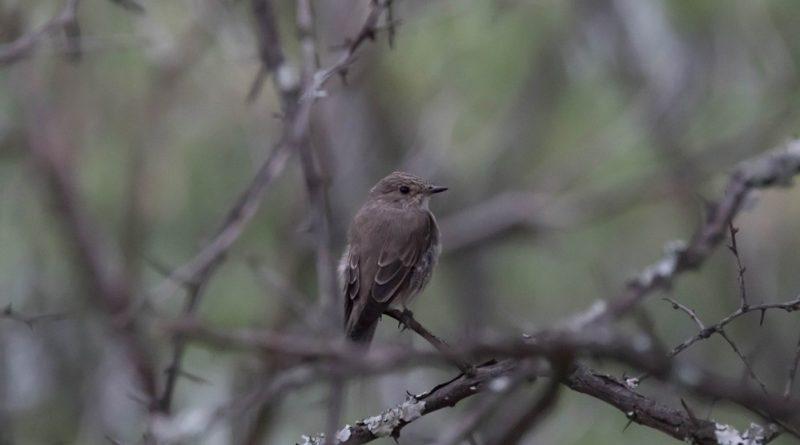 Spotted Flycatcher, Europese Vlieëvanger, (Muscicapa striata)