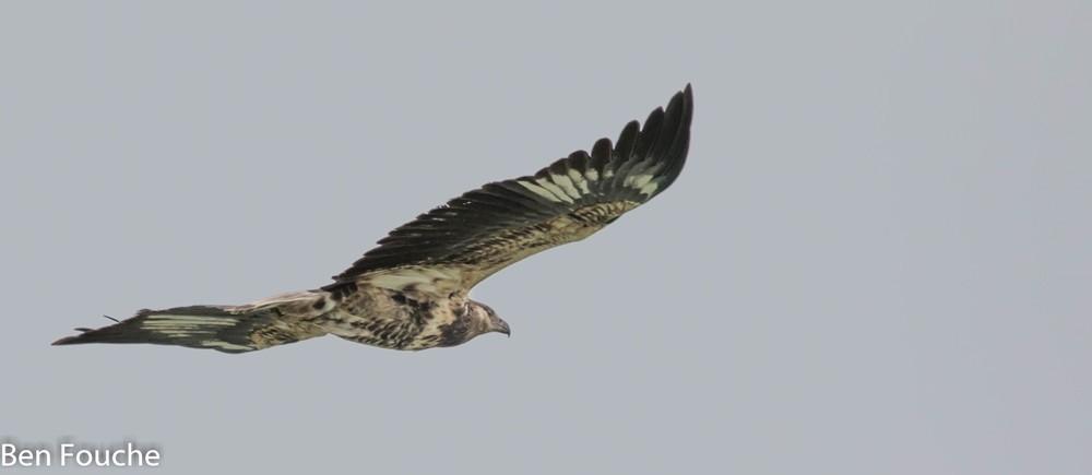African Fish Eagle, Visarend, (Haliaeetus vocifer)
