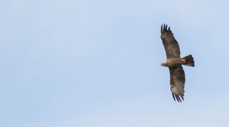 Wahlberg's Eagle, Bruinarend, (Hieraaetus wahlbergi)