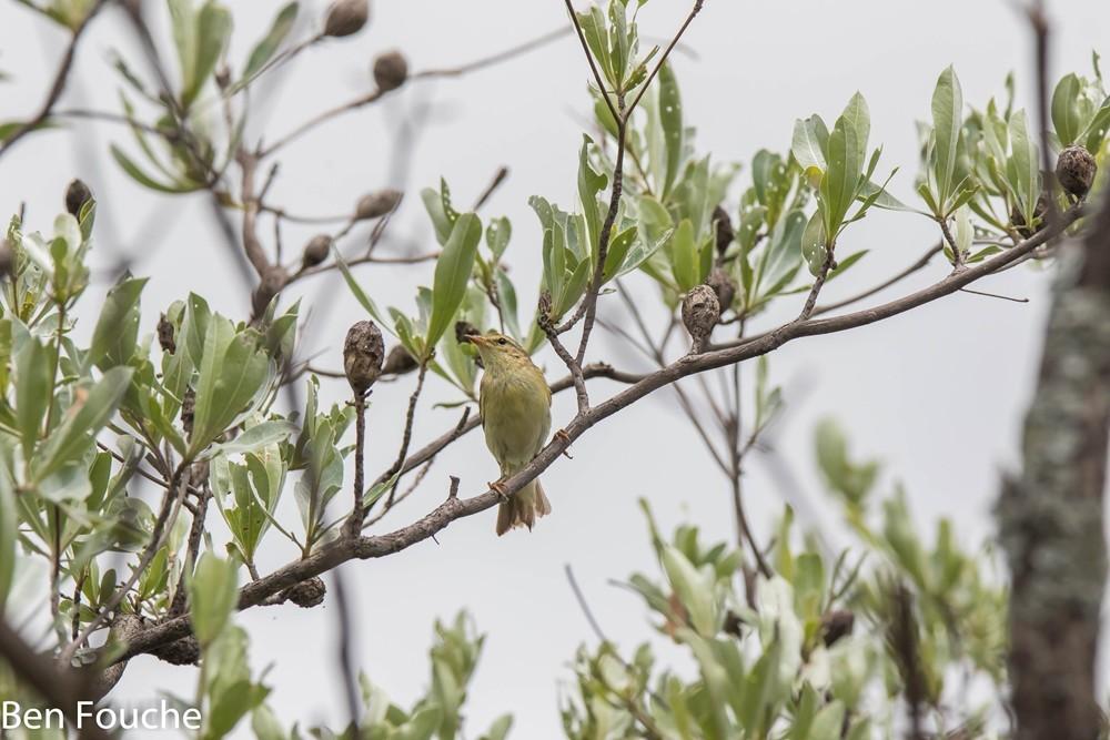 Willow Warbler, Hofsanger, (Phylloscopus trochilus)