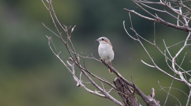 Red-backed Shrike, Rooiruglaksman, (Lanius collurio)