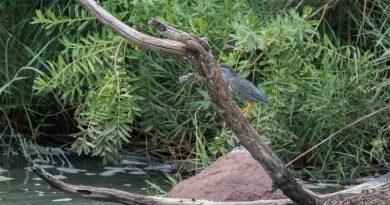 Green-backed Heron, Groenrugreier, (Butorides striata)