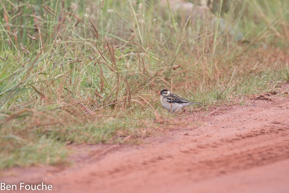 Pin-tailed Whydah, Koningrooibekkie, (Vidua macroura)