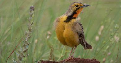 Cape Longclaw, Oranjekeelkalkoentjie, (Macronyx capensis)