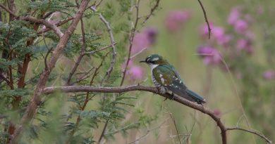 Diederik Cuckoo, Diederikkie, (Chrysococcyx caprius)